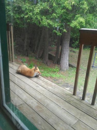 Our friendly fox